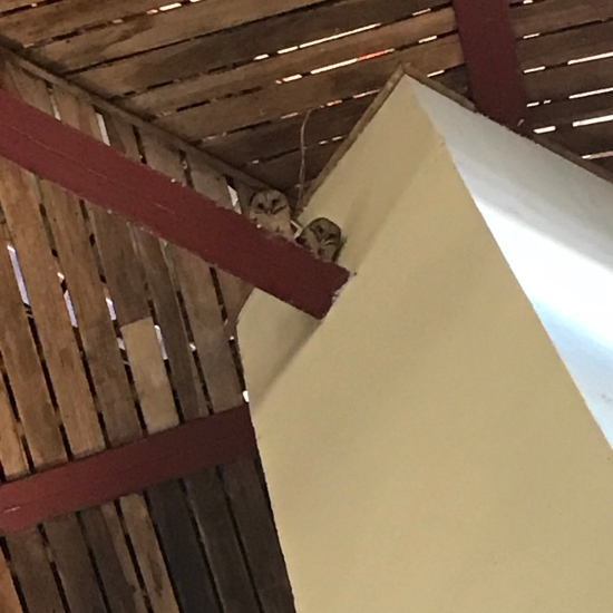 Baby owls in the rafters of the church